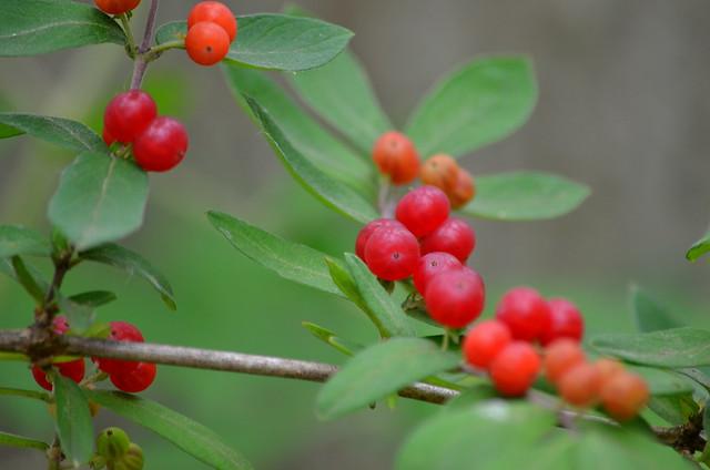 Invasive Bush Honeysuckle Red Berries Flickr Photo