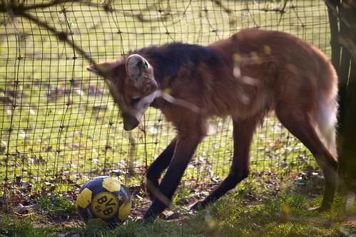 Wolf Playing Football Wolf Playing Football | by