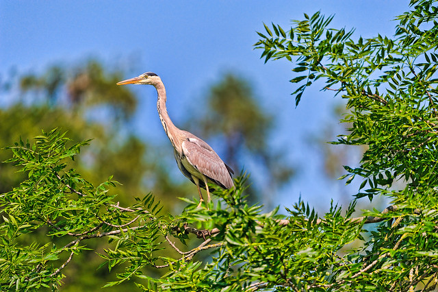 Heron on the tree