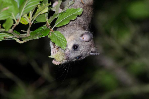 Edible Dormouse | by markhows