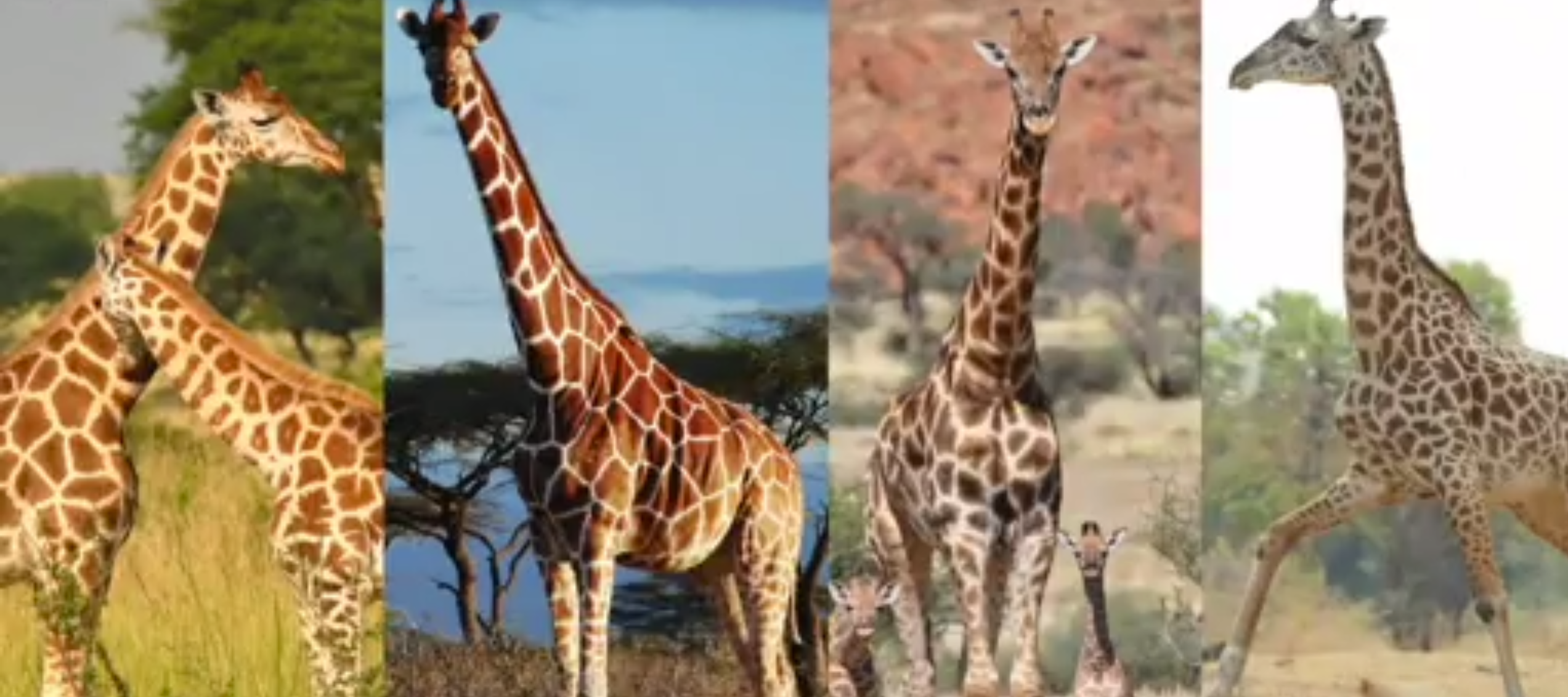 Study_reveals_there_are_four_types_of_giraffe_-_CBBC_Newsround