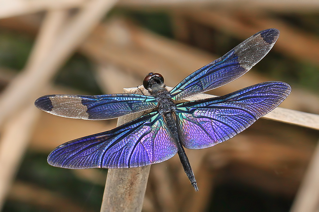 free live dragonfly wallpaper