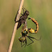 uitsluipende Gevlekte glanslibel (Somatochlora flavomaculata)