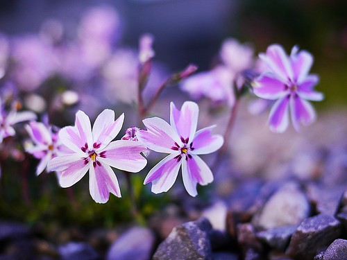 Pretty Little Flowers | by tanglemay
