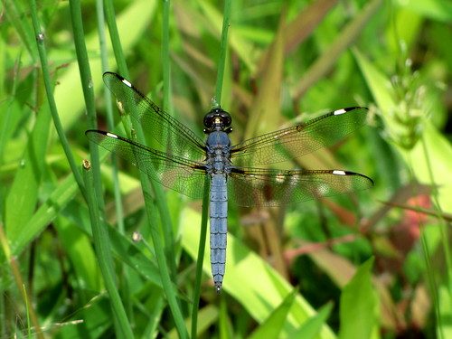 Spangled Skimmer - male | by Naturebuggin