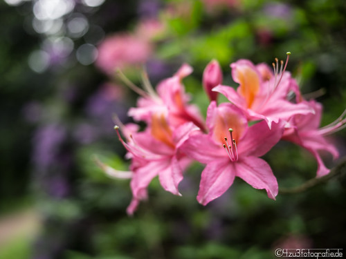 Flower Bokeh 21.05.2012 | by Silbersurfer