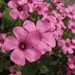 Oxalis * Feliz Quinta Flower !!!