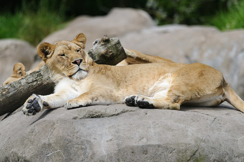 Lioness Lounging | by Eric Kilby
