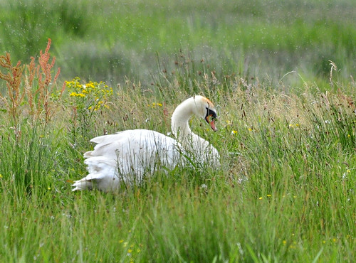 Swan at RSPB Loch Gruinart | by weetoon66