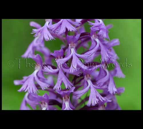 Small Purple Fringed Orchid | by these are only words