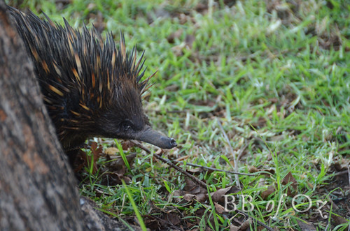 echidna_8584 | by Bush Babe