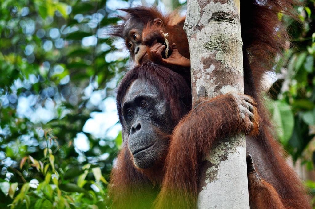 Meeting Orangutans in Indonesia