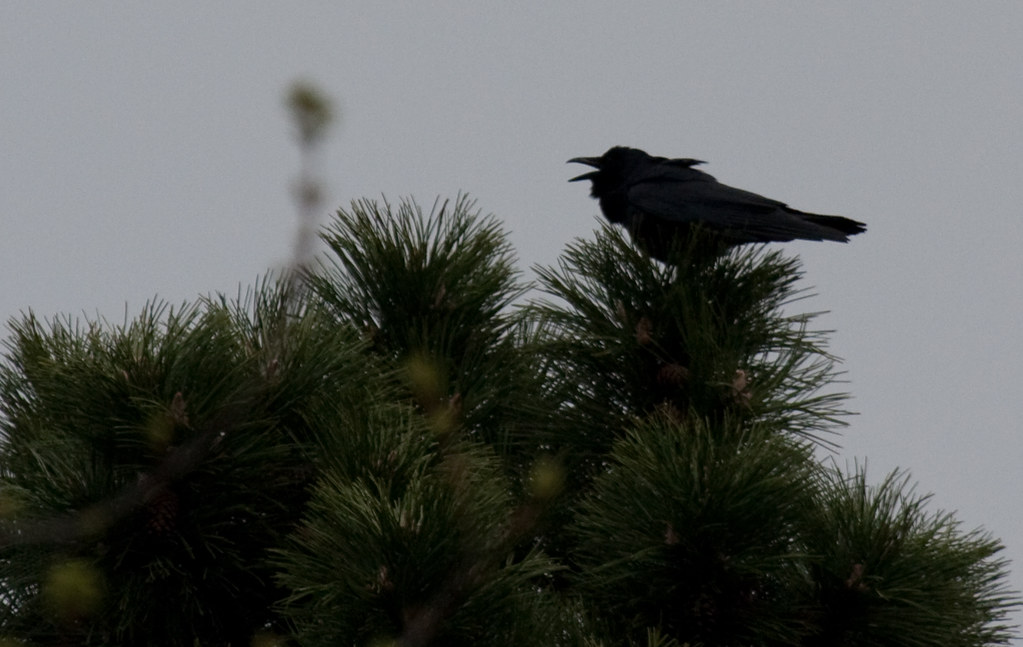 Fish crow calling note ruffled throat feathers corvus for Fish crow call