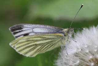Green Veined White | by Chris*Bolton