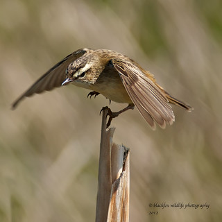 wilf the wobbly warbler | by blackfox wildlife and nature imaging
