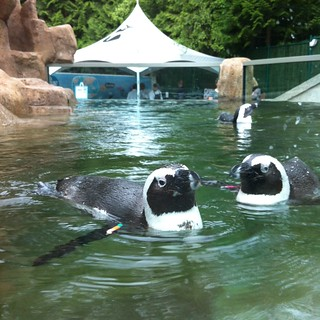 Earlier tonight, the penguins at @VancouverAqua were up for a swim #NATA #fb | by Vancouverscape.com