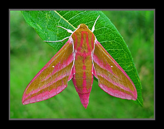 EIelephant hawkmoth | by forbesimages