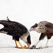 Crested Caracaras, adult and juvenile