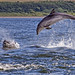 Bottlenose Dolphins - Chanonry Point 21/07/2012