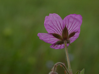 Sticky Purple Geranium | by David R. Crowe