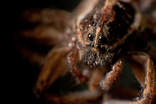 Wolf Spider Macro | by Jonathan Hartzell / the Archangel