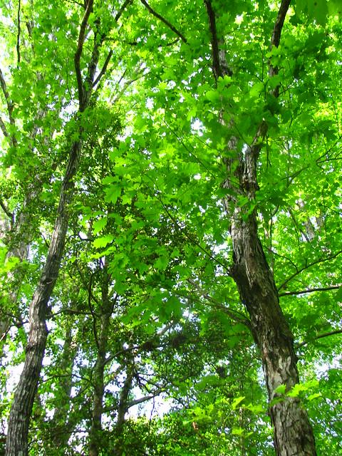 Quercus alba   Flickr - Photo Sharing!  Quercus alba   ...