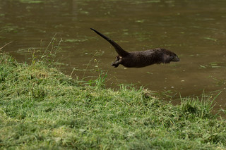 """Leaping Otter, ....."" 