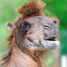 Camel with funny haircut
