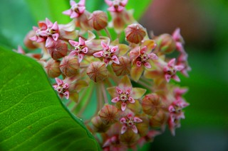 front porch milkweed | by Paprock Photography