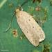 Borboleta Noturna // Moth (Agonopterix rotundella)