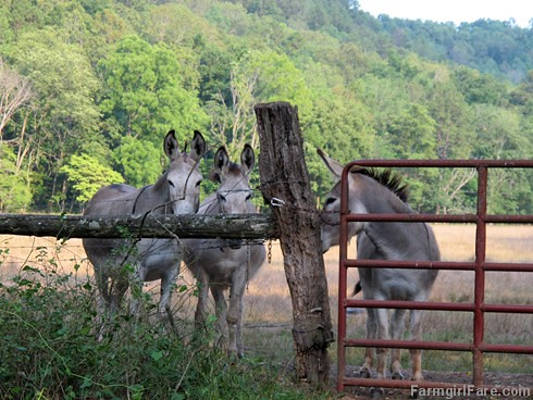 Donkettes 2 | by Farmgirl Susan