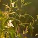 tiger lily  1915