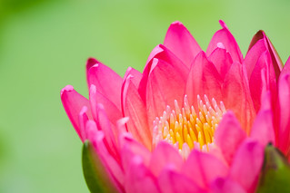 Pink Water Lilly | by Patrick Foto ;)