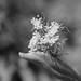 Emerging flower clusters