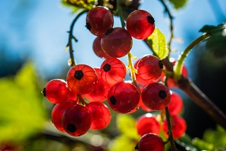 Red Currant Berries in the Sun | by Wonkylens