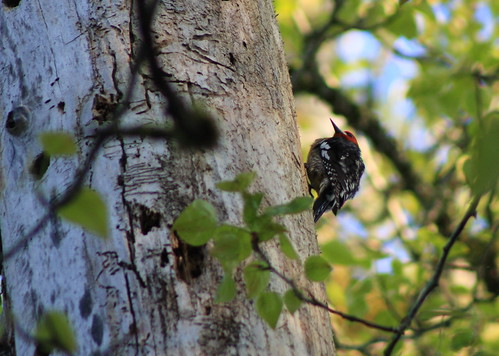 Red-breasted Sapsucker | by Nature Nut_Michele