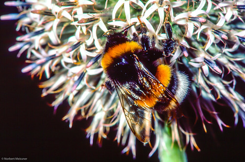 Bumblebee & Silver thistle | by nbcmeissner