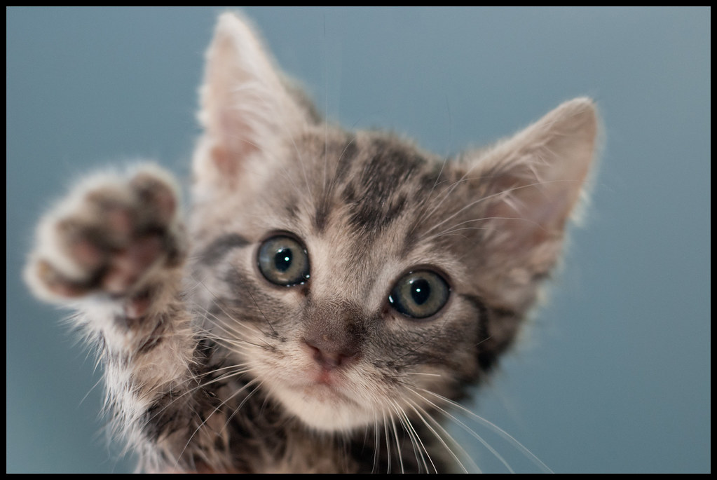 Kitten! | Adopted!! Animal Rescue League of Southern Rhode I… | Flickr