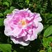 Hybrid Rugosa Rose 'Thérèse Buguet'