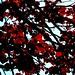 Red leaves like wine!