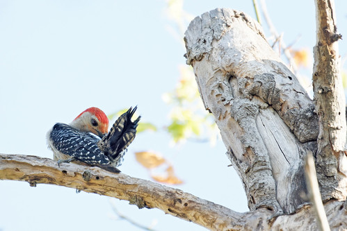Red Bellied Woodpecker 3 | by baldheretic