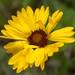 Gaillardia aristata (Asteraceae); Blanket flower