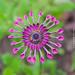 Osteospermum, Whirligig Daisy