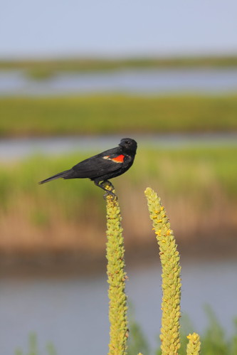 Red Winged Blackbird | by Mellon 99
