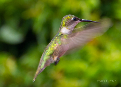 Ruby-throated Hummingbird (Female) - | by tracyhsays