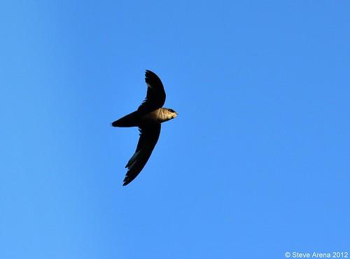 Chimney Swift (Chaetura pelagica)