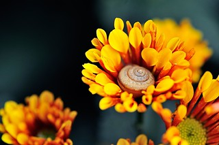 snail in chrysanthemum | by phuongnamcom