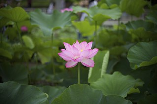 Lotus③ | by y_phog