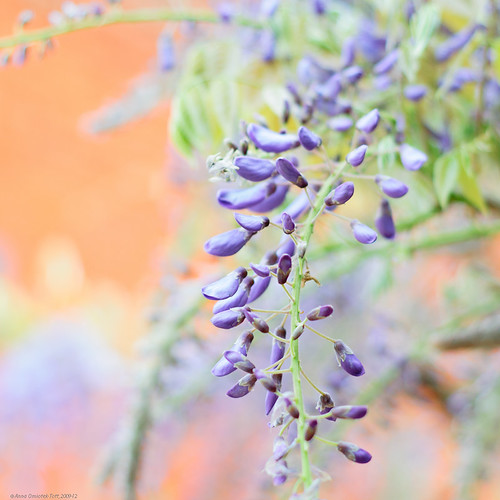 Wisteria | by Anna Omiotek -Tott Garden Photography