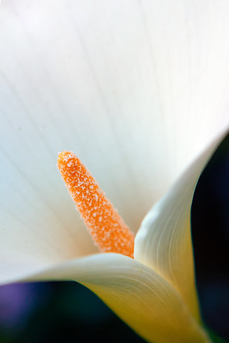 Easter Lily | by Sierra Springs Photography